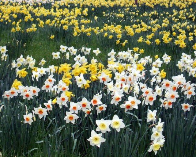 2007-03-17 Daffodil Fields.np