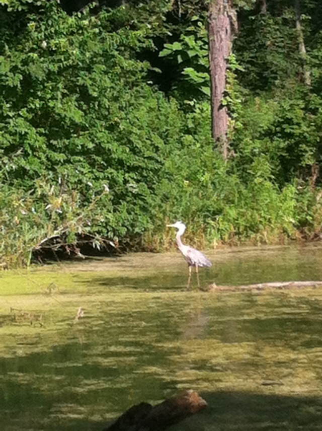 blue heron at Danada