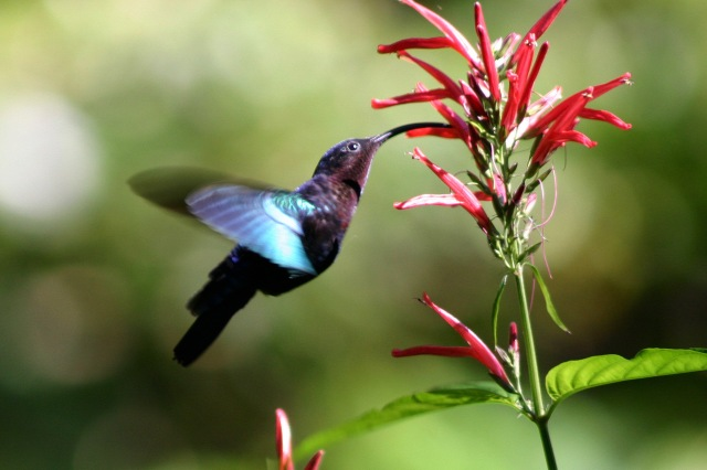 Purple-throated_carib_hummingbird_feeding - from wikipedia