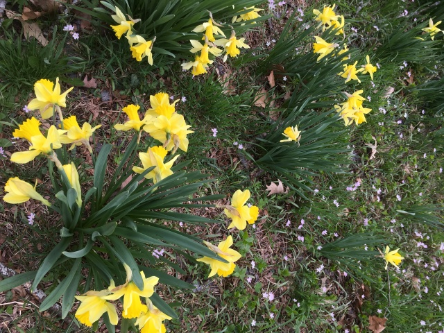 photo of daffodils that I took while enjoying a run